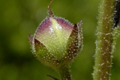 Close-view-of-Moth-Mullein-flower-buds