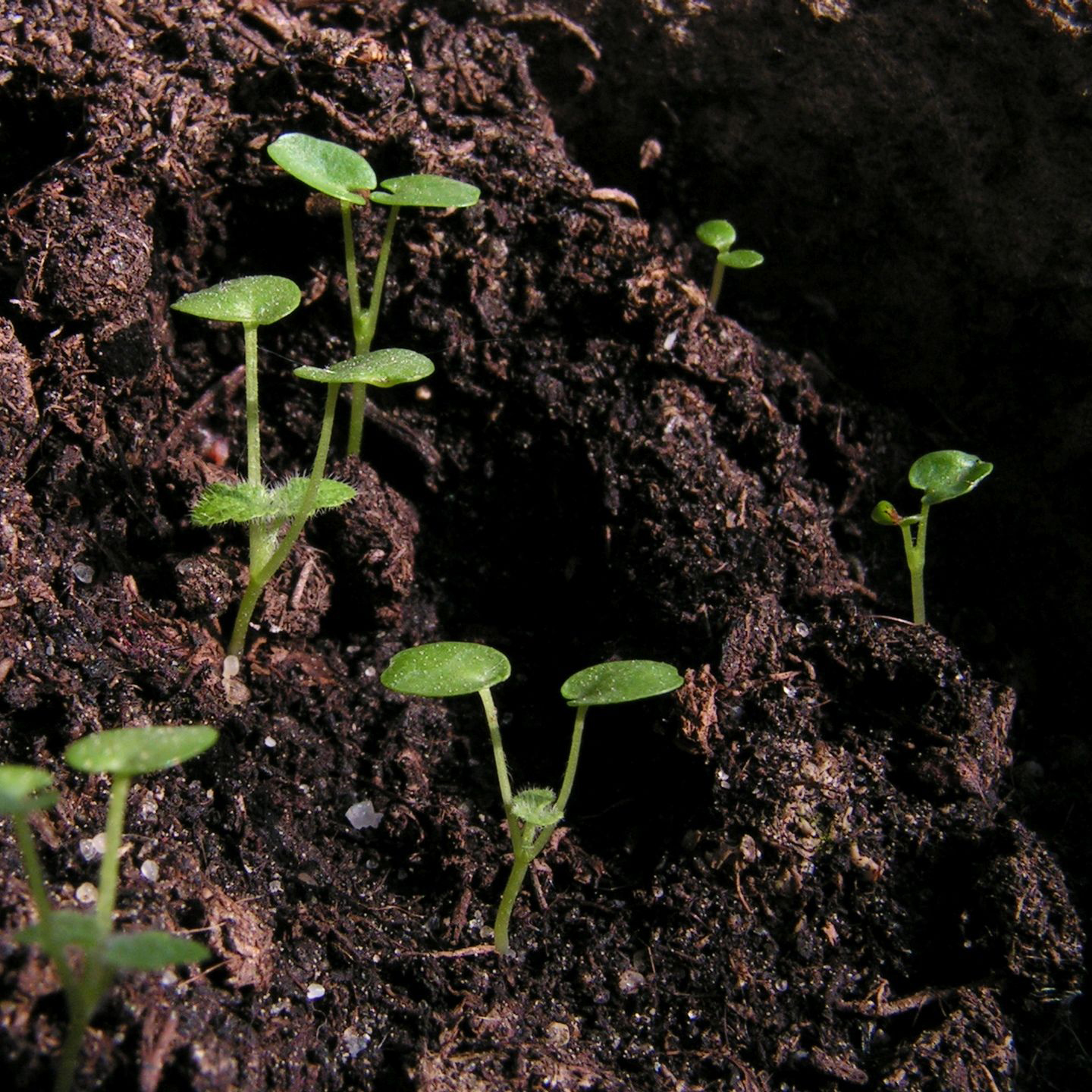 Motherwort-seedlings