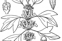 Motherwort-drawing