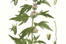 Motherwort-illustration
