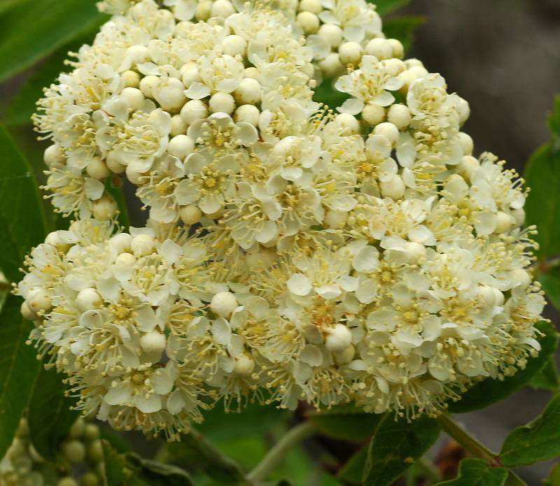 Closer-view-of-flower-of-Mountain-ash