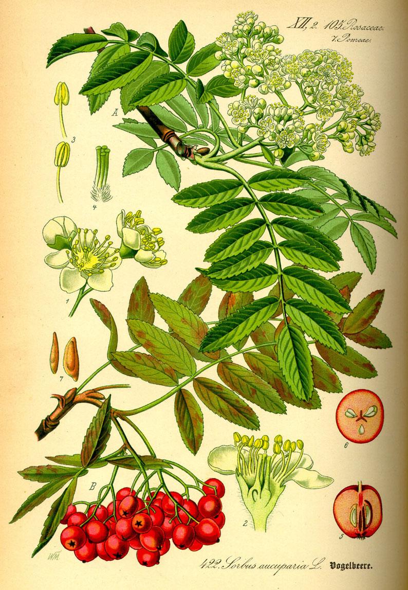 Plant-Illustration-of-Mountain-ash
