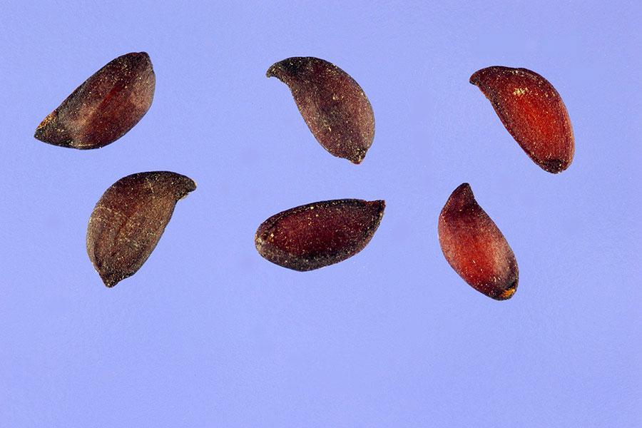 Seeds-of-Mountain-ash