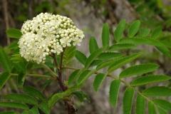 Flower-of-Mountain-ash