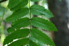 Leaves-of-Mountain-ash