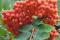 Mature-fruit-of-Mountain-ash