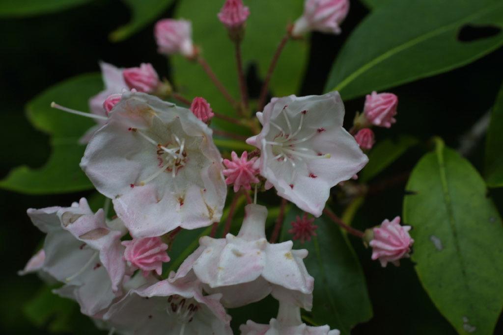 Mountain-Laurel-flower