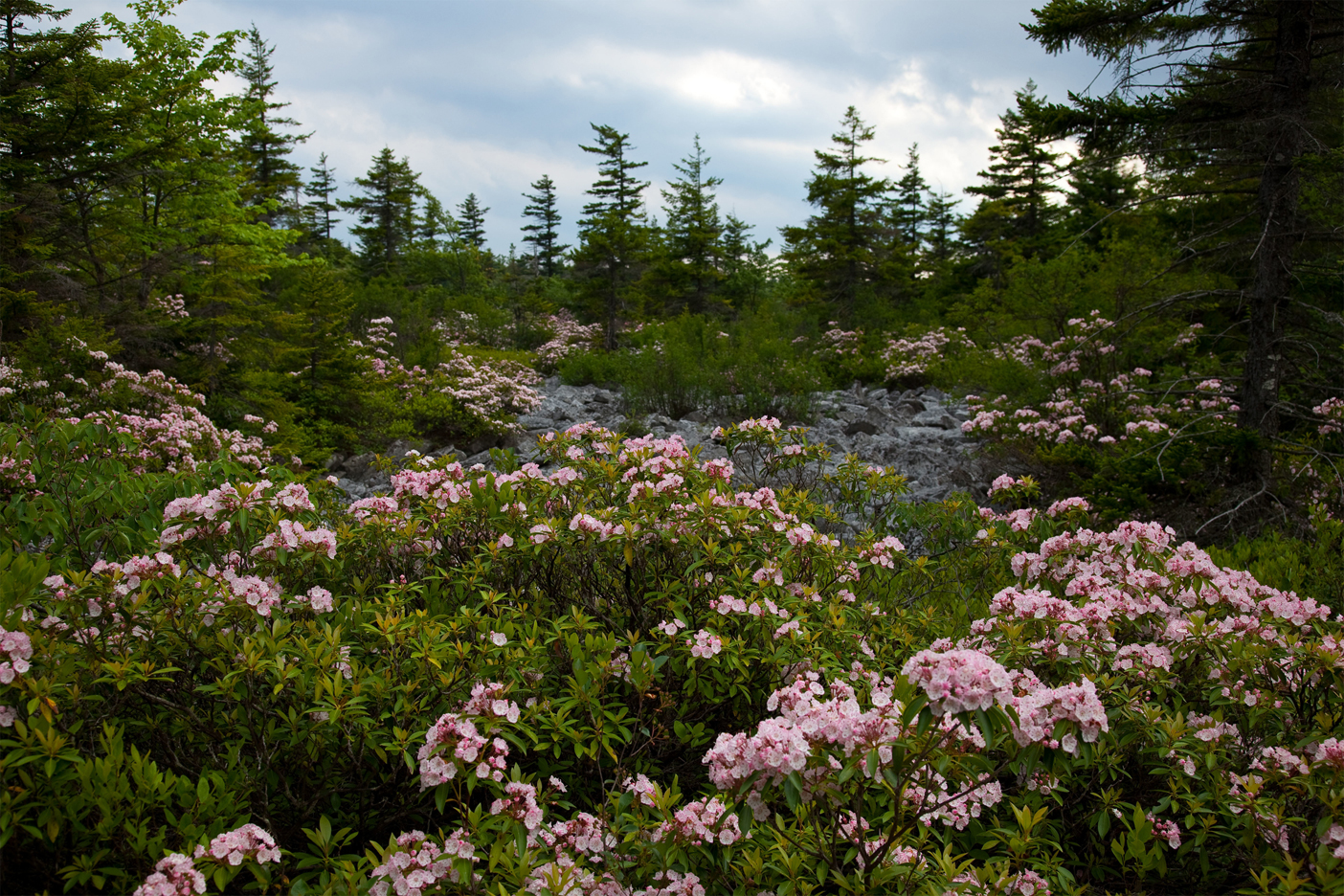 Mountain-Laurel-plantation