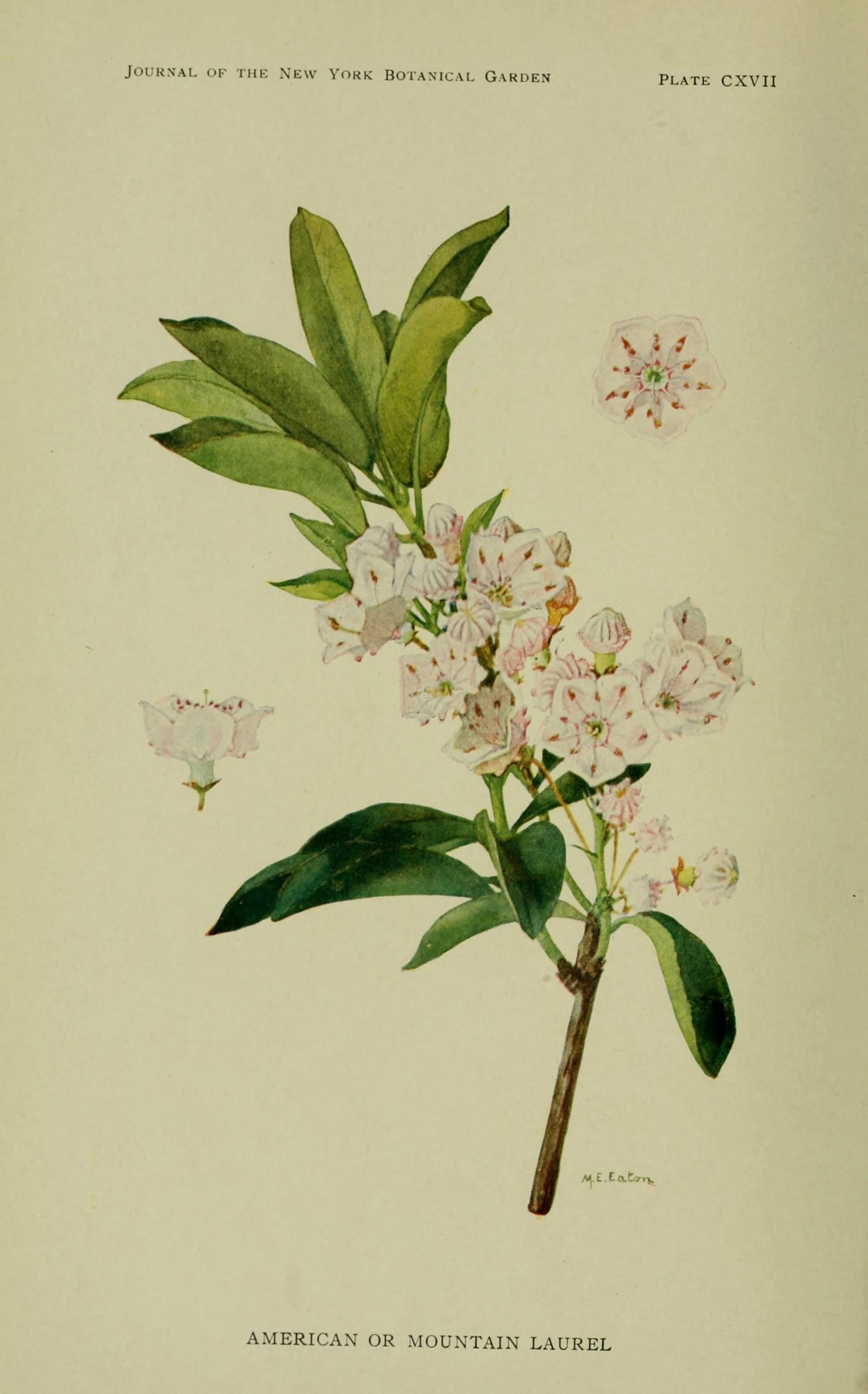 Plant-illustration-of-Mountain-Laurel