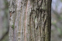 Bark-of-Mountain-Laurel