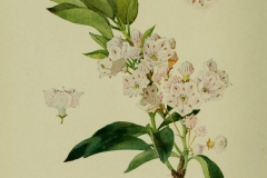 Plant-illustration-of-Mountain-Laurel