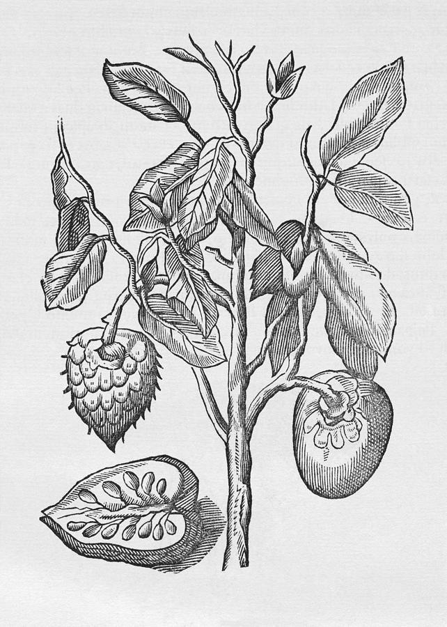Plant-illustration-of-Mountain-Soursop