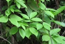 Leaves-of-Mountain-yam