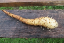 Mountain-yam-root