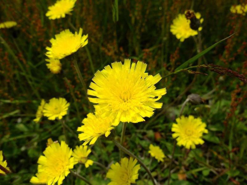 Flower-of-Mouse-ear-hawkweed