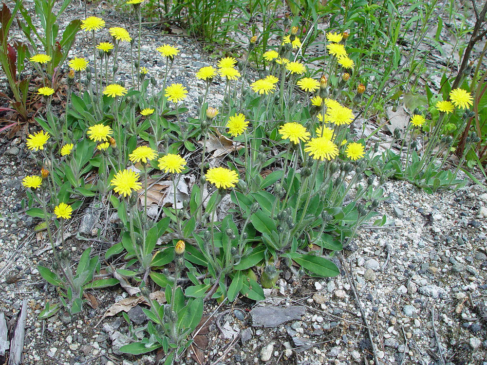 Mouse-ear-hawkweed-Plants-growing-wild