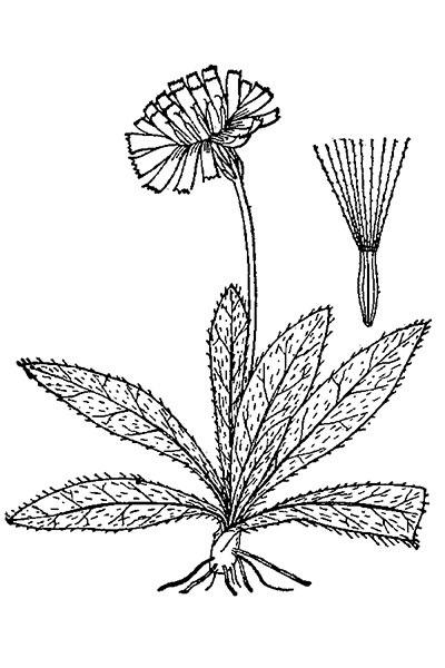 Sketch-of-Mouse-ear-hawkweed