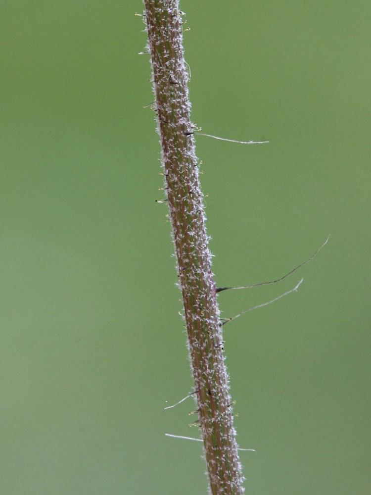 Stem-of-Mouse-ear-hawkweed