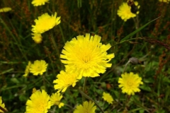 Flower-of-Mouse-ear-hawkweed