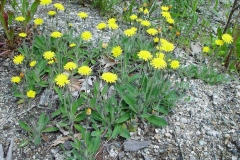 Mouse-ear-hawkweed-Plants-growing-wild