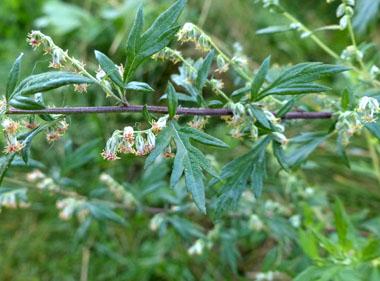 Mugwort-flower