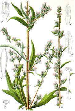 Plant-Illustration-of-Mugwort