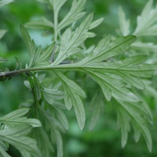 Ventral-view-of-Mugwort-leaves