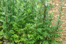 Mugwort-plant