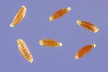 Seeds-of-Mugwort-plant