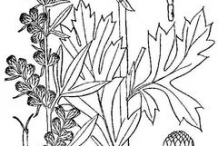 Sketch-of-Mugwort-plant