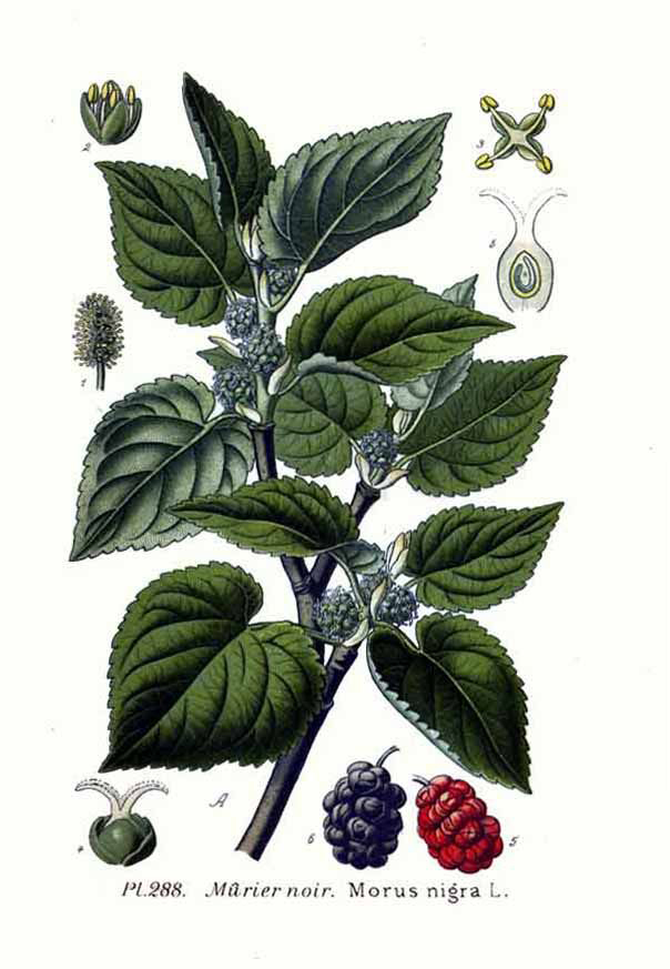 Illustration-of-Mulberries
