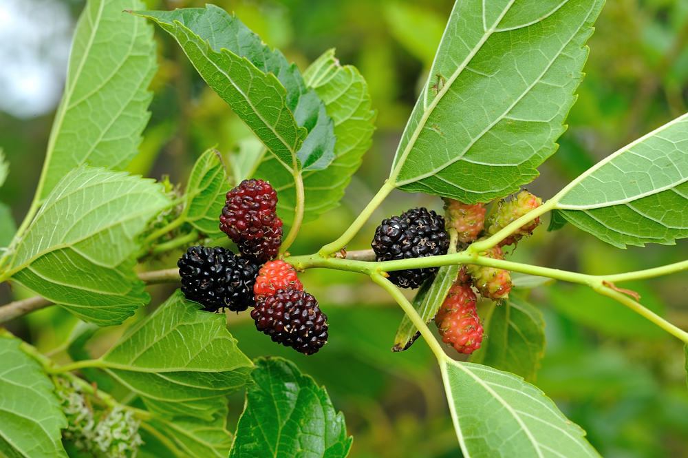 Mulberries-fruit