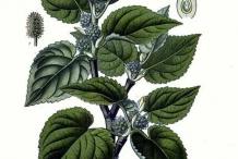 Illustration-of-Mulberries