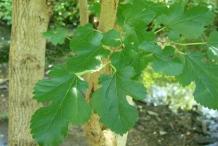 Leaves-of-Mulberries