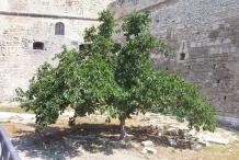 Mulberries-tree