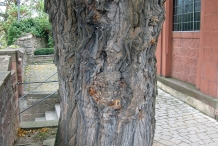 Mulberry-trunk