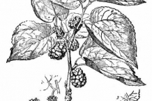 Mulberry-drawing