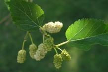 Unripe-Mulberries