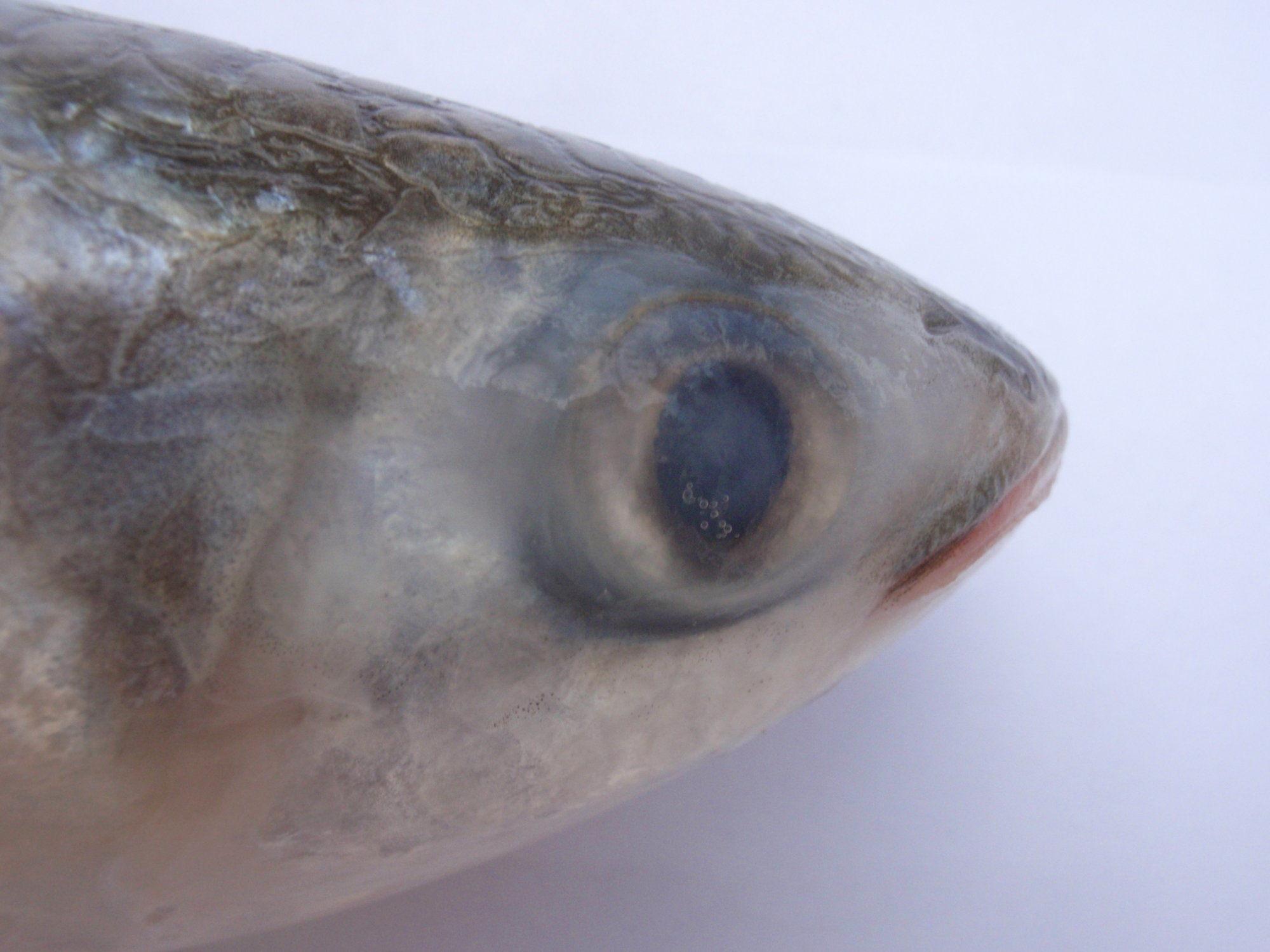 Eyelid-of-Mullet-fish