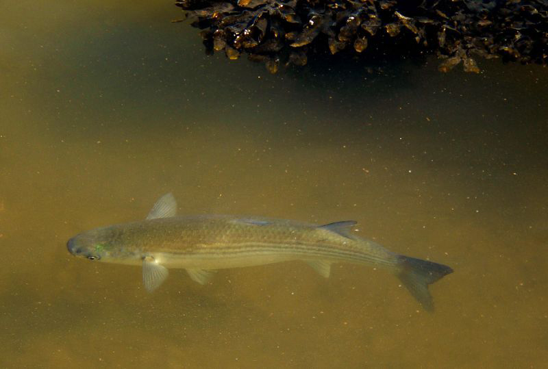 Mullet-fish-3