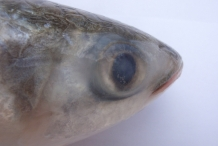 Eyelid-of-Mullet-fish