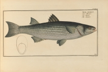 Illustration-of-Mullet-fish