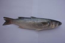 Mullet-fish-2