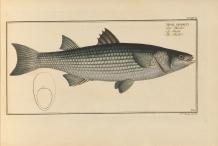 Illustration-of-Mullet-fish