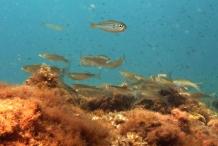 Juveniles-of-Mullet-fish