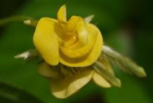 Close-up-flower-of-Mung-bean