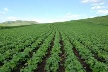 Mung-beans-farm