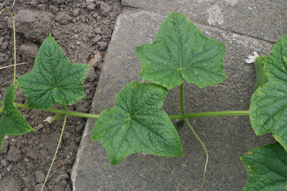 Leaves-of-Musk-Cucumber