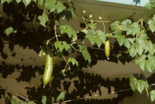 Musk-Cucumber--Plant