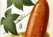Musk-Cucumber-plant-Illustrstion